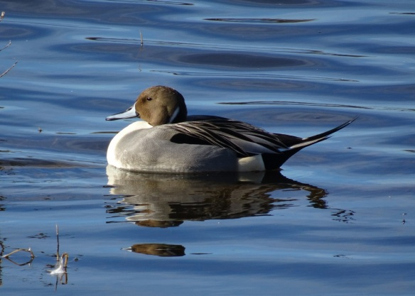 pintail-swimming-2-12-2016-small