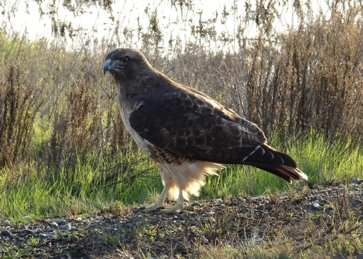red-tailed-hawk-sac-nwr-11-2016-small