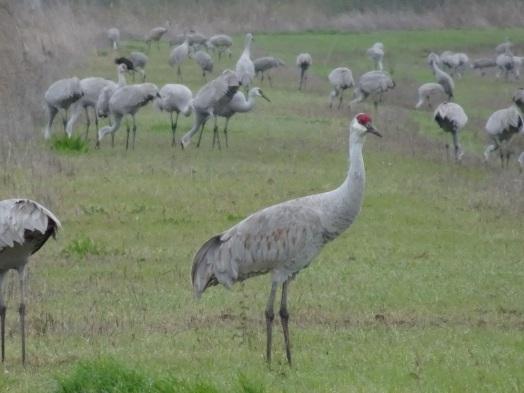 sandhill-cranes-llano-seco-3-11-2016-small