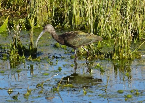 white-faced-ibis-merced-nwr-12-2016-small