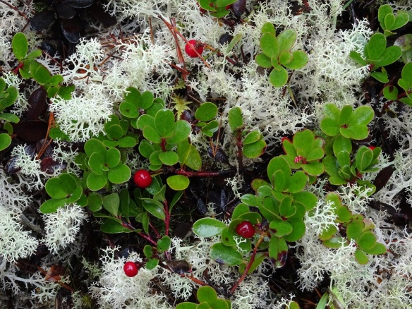 ground-berries-and-lichen-humboldt-bay-nwr-1-2017-small