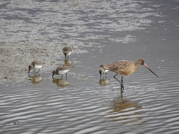 marbled-godwit-and-dunlins-arcata-marsh-1-2017-small