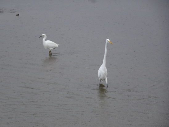 snowy-and-great-egrets-arcata-marsh-12-2016-small