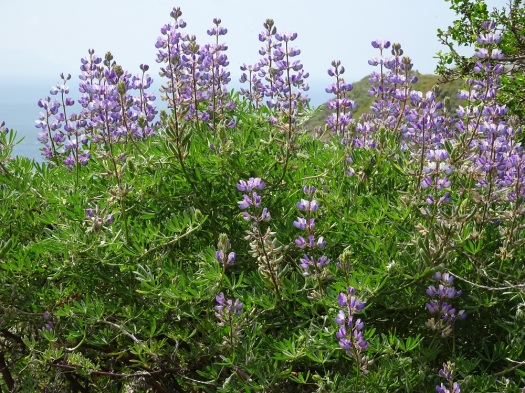 Bush lupine Marin Headlands 4-2018 small