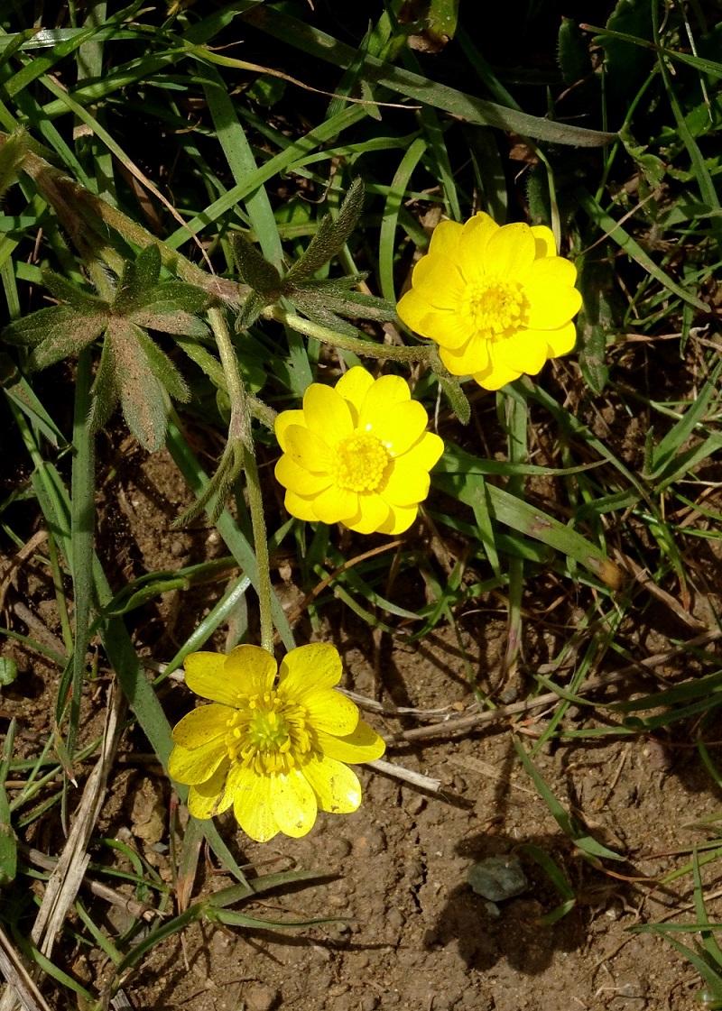 California buttercup Marin Headlands 4-2018 small