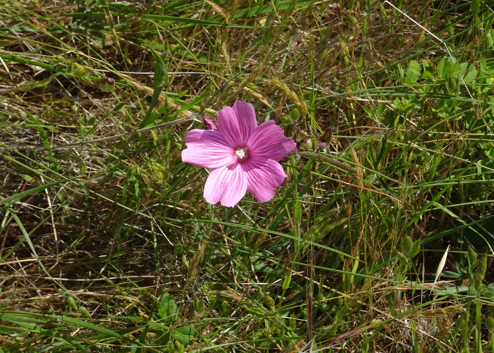 Checker bloom Marin Headlands 4-2018 small