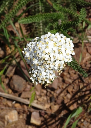 Common yarrow Marin Headlands 4-2018 small