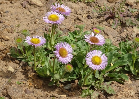 Seaside daisy Marin Headlands 4-2018 small