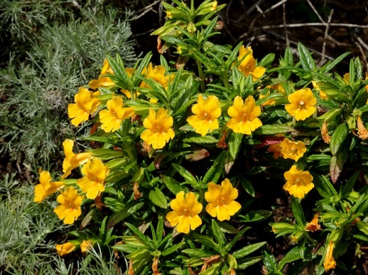 Sticky monkeyflowers Marin Headlands 4-2018 small